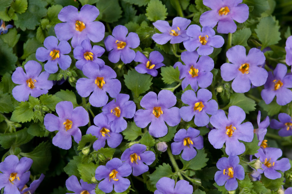 Bacopa purple flower